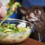Cute brown chihuahua dog going to eat an arugula salad in restaurant.