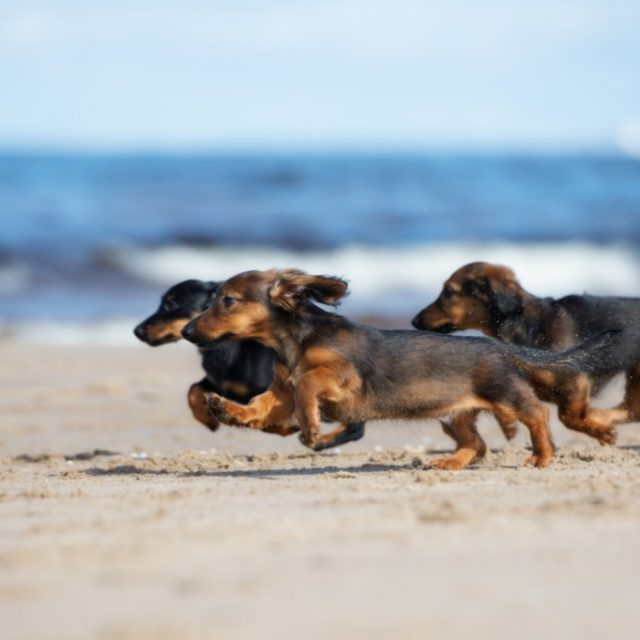 dachshund puppies running on a beach