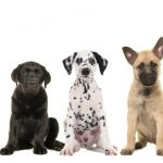 Nine different breed puppy dogs on a row from small to large isolated on a white background