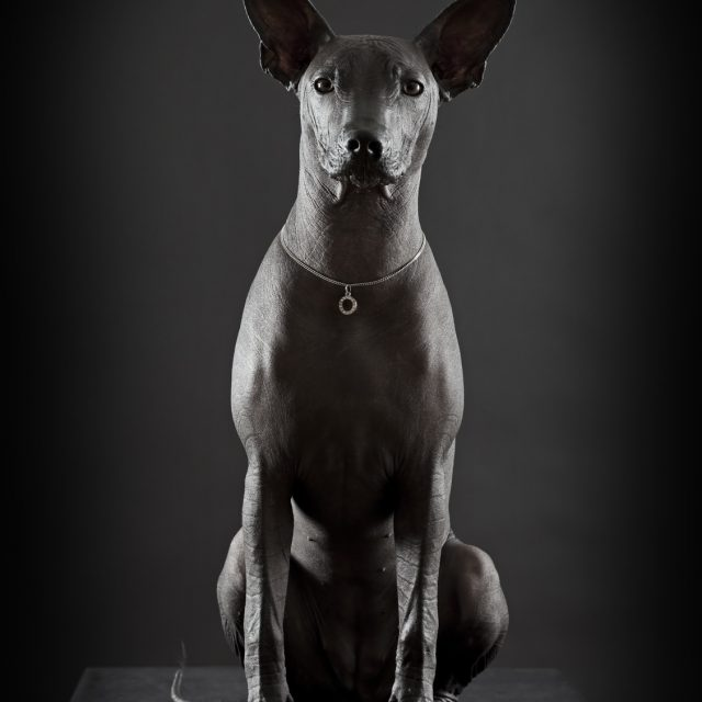 Mexican xoloitzcuintle dog sitting against black background