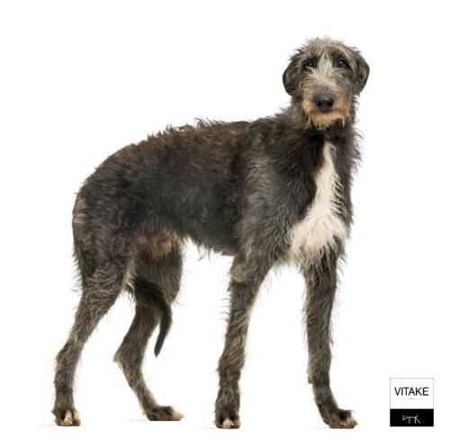 deerhound-1