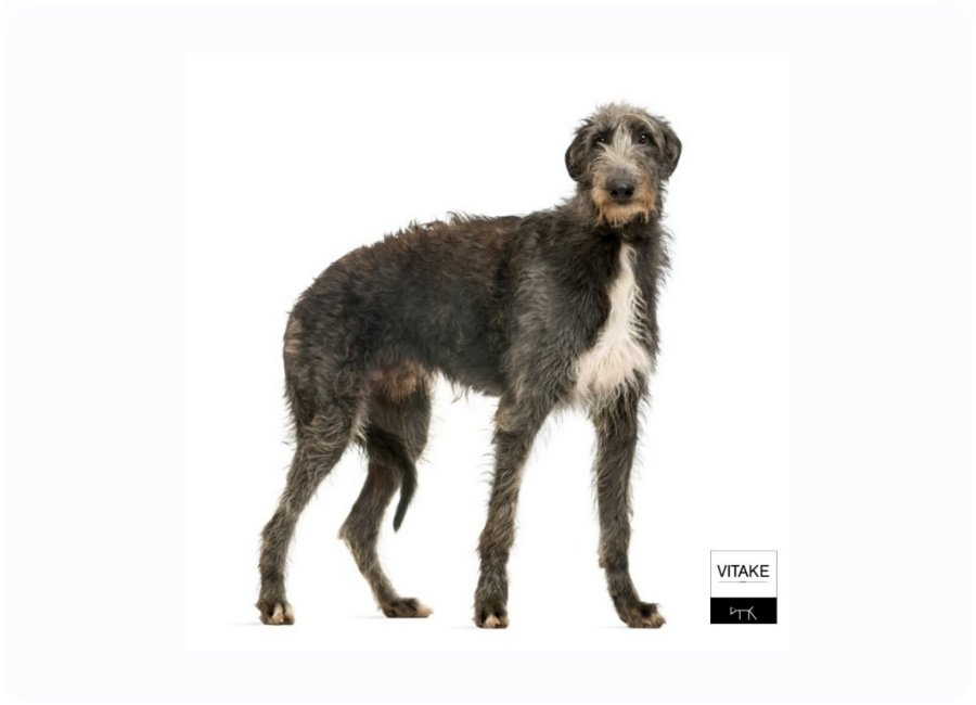 deerhound-2-1